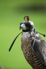 Falconry for hire
